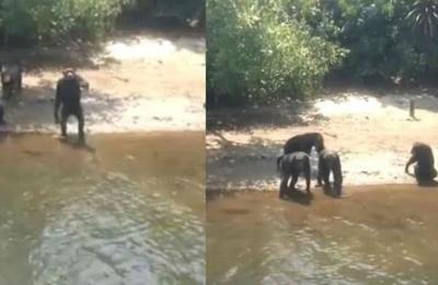 La peligrosa isla donde viven chimpancés abandonados con enfermedades contagiosas
