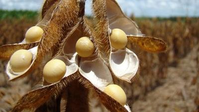 Corrigió a la baja el precio de los granos en Chicago