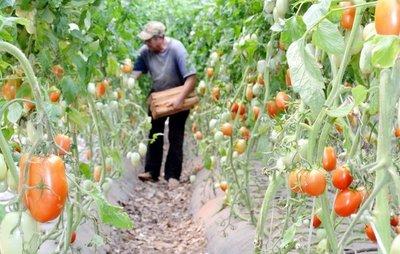 Hay abundante producción de tomate con este clima