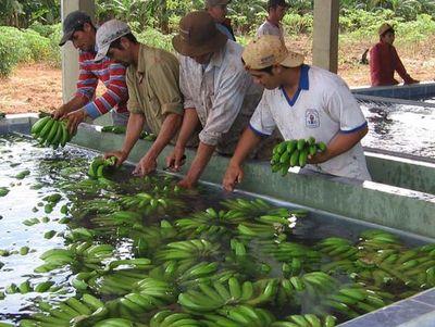 Tembiapora: Banana en merienda escolar