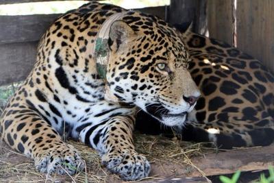 "El jaguar ""Chiqui"" regresó a Paraguay tras el éxito logrado con el proyecto Yaguareté"