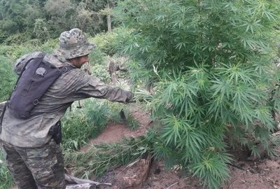 Destruyen 5 hectáreas de marihuana en reserva