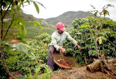 El 60% de variedades de café está en peligro
