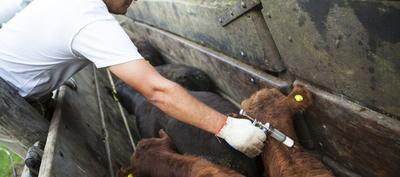 Lanzan primer periodo de vacunación contra aftosa y brucelosis