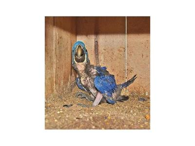 Nace gua'a hovy y resiste extinción