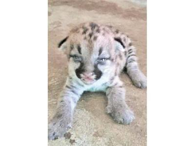 Nace puma en Zoológico de Asunción