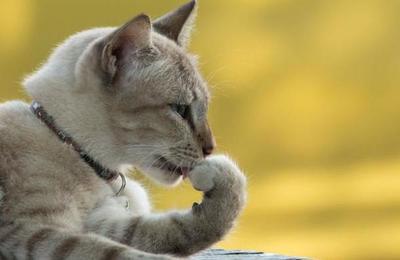 ¿Cómo funciona la lengua de los gatos?
