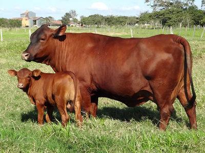 Uruguay evalúa importar hembras de Brasil para aumentar el stock