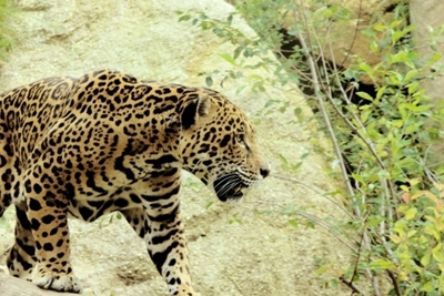 Jaguar ataca a mujer que saltó la valla en zoo de EEUU para hacerse una selfi