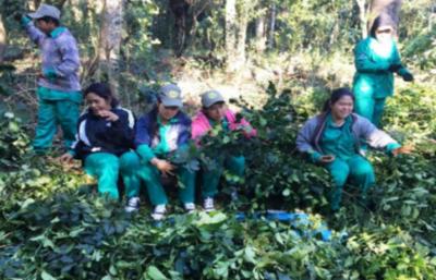 Indígenas de Canindeyú exportarán más de 15 toneladas de yerba mate