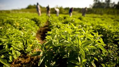 La demanda de stevia aumenta, pero la producción no incrementa su volumen