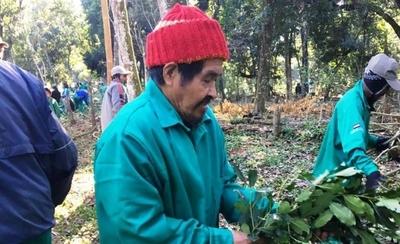 HOY / El 30 % de los indígenas logra autosustento: exportarán 15 toneladas de yerba
