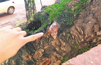 En alerta ante la reaparición de los  caracoles africanos en CDE y Franco