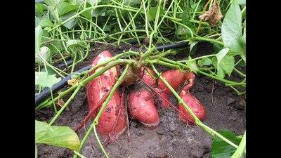Fernheim desea potenciar rubros agrícolas no tradicionales en el Chaco