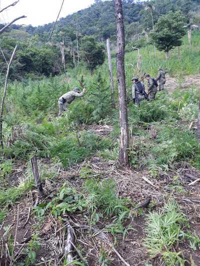 Destruyen plantaciones de marihuana