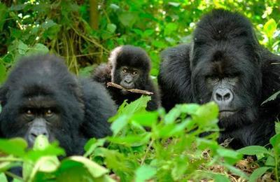 Investigadores descubren que gorilas hacen funerales para despedir a sus compañeros