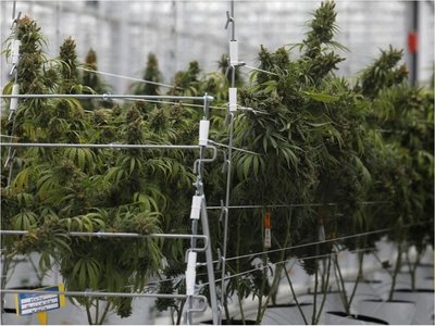 Primera exportación de marihuana medicinal uruguaya está lista