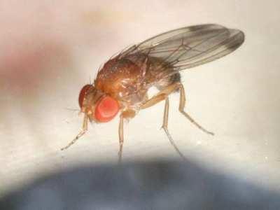 Senave alerta para evitar ingreso al país de la mosca de alas manchadas