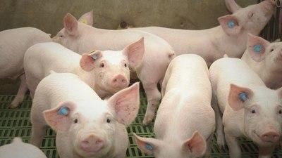 Paraguay Pork estará presente en Argencarne confirmando el potencial que tiene el país para producir carne de cerdo
