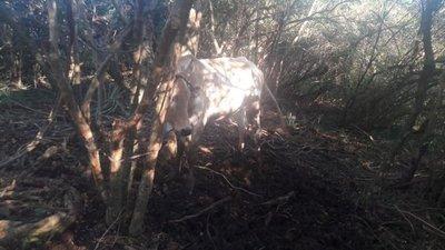 Recuperan animal robado y detienen a presuntos abigeos