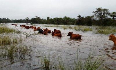 Señalan que pérdidas en ganadería por inundaciones son cuantiosas