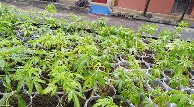 En la mira por repartir plantines de cannabis