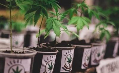 HOY / Mamá Cultiva: Fiscalía sostiene que ley no permite el autocultivo de marihuana