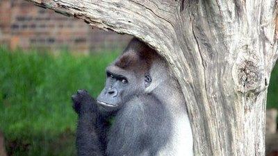 Gorilas idean  plan para no  mojarse