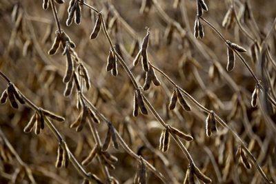 Argentina albergará a la soja paraguaya