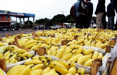 Dan prioridad a pequeños productores de banana para la merienda escolar