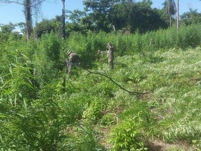 Proponen subsidio para que campesinos dejen de cultivar marihuana