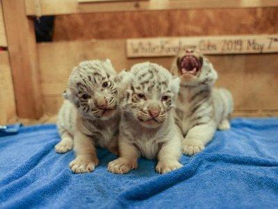 Presentan a cachorros trillizos del amenazado tigre blanco