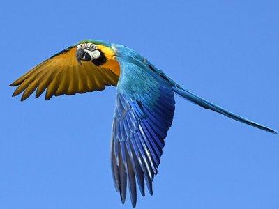 Brasil repatriará 50 guacamayos azules de Alemania