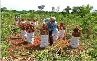 Productores aguardan apertura de mercado y mejor precio para la mandioca