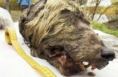 El increíble hallazgo de una cabeza de lobo gigante de 40.000 años: tiene el cerebro intacto