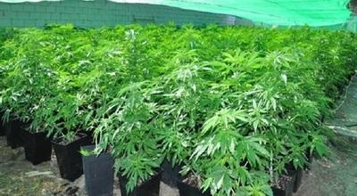 Marihuana legal: Analizan modelo uruguayo