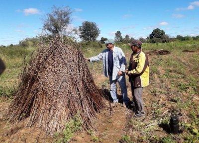 Indígenas producen sésamo en el Chaco