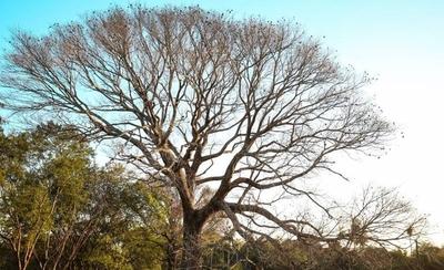 HOY / Cierran inscripciones para el concurso que premia al árbol más grande del país