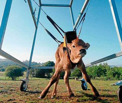 Lázaro, el primer ternero de España en silla de ruedas