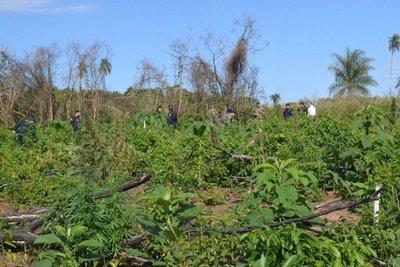 Plantean utilizar marihuana incautada por la Senad para aceite de cannabis