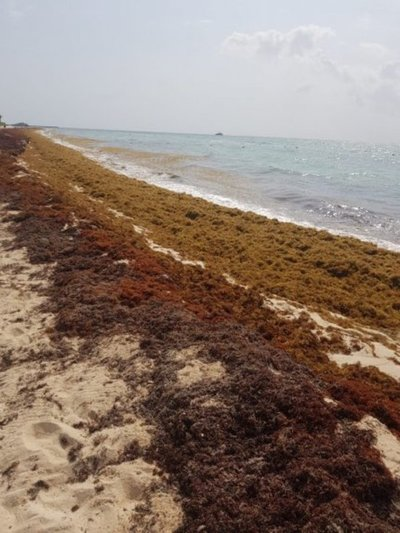 Mancha de sargazo de 550 km de diámetro se acerca a costa de México