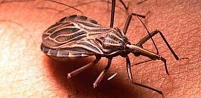 Monitorean el Chaco ante presencia del mal de Chagas