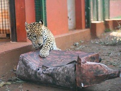 Entretienen a jaguaretés con juguetes de materiales reciclados