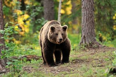 Un hombre pasó 1 mes secuestrado por un oso que lo almacenaba como alimento