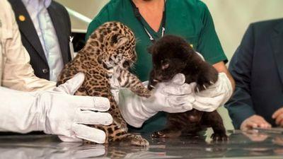Nacen dos cachorros de jaguares en refugio biológico de Itaipu