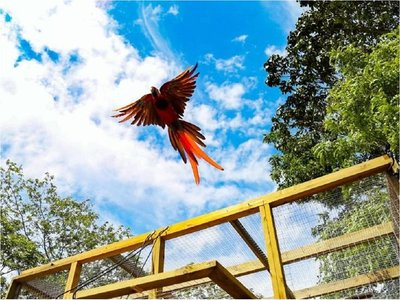 Liberan 8 guacamayas rojas, ave en peligro de extinción en Honduras