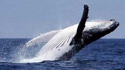 Japón vuelve a cazar ballenas con fines comerciales tras 30 años de interrupción