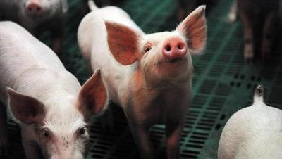 La FAO advierte sobre la amenaza de propagación de la peste porcina en Asia