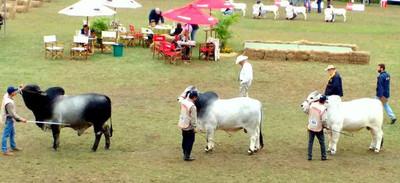 Brahman presente en la Expo de Mariano Roque Alonso desplegando su potencial para producir carne