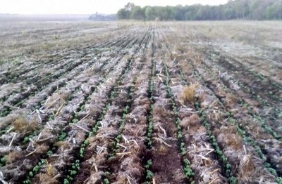 Recomendaciones para cuidar cultivos tras primeras heladas